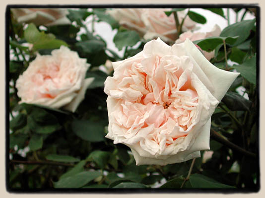 'Against the wall a great Gloire de Dijon Rose presses its soft flushed cheek…' Louise Beebe Wilder [image via Paul Barden roses]