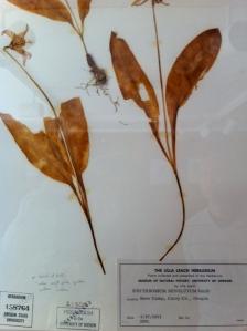 Erythronium revolutum, one of Lilla Leach's discoveries
