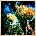 late summer thistles