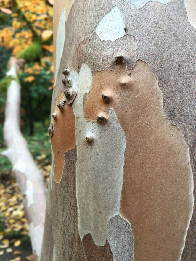A fascinating bark like a sycamore, but is actually a Stewartiana