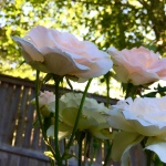 RosesOutside