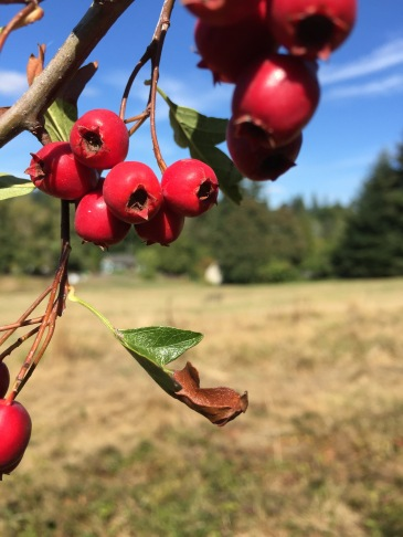 some local hawthorn berries