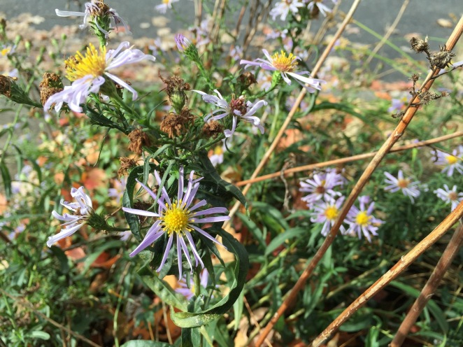 Autumn asters, H.E. Bates