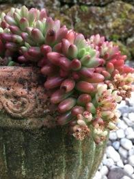 pinksucculents